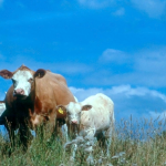 Cattle456_fixed